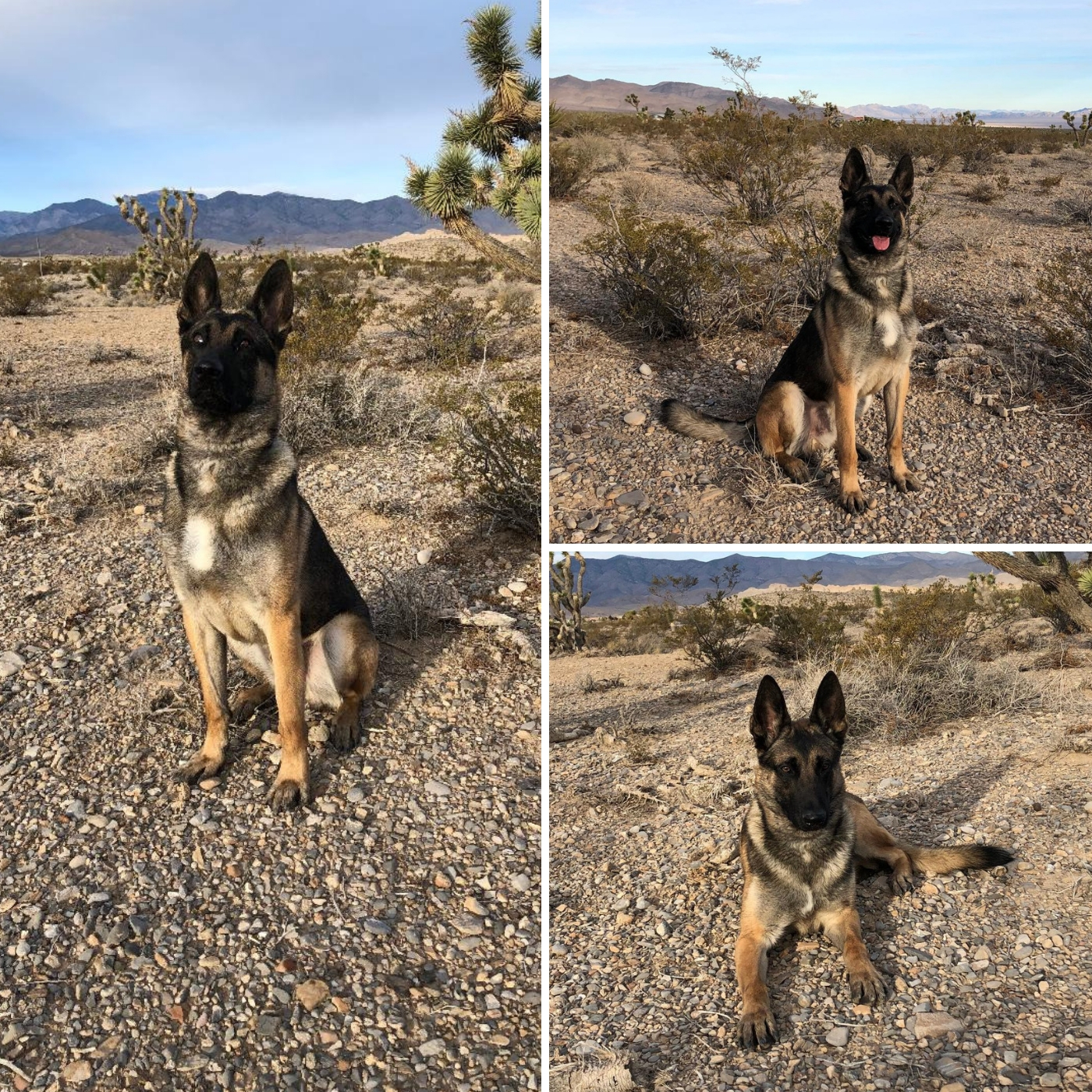 Trained K9s For Sale   Command Dogs Las Vegas   Protection